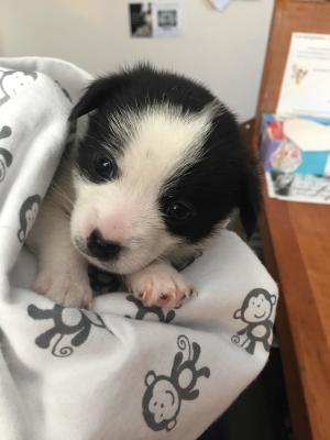Angus the orphaned chihuahua puppy rescue story